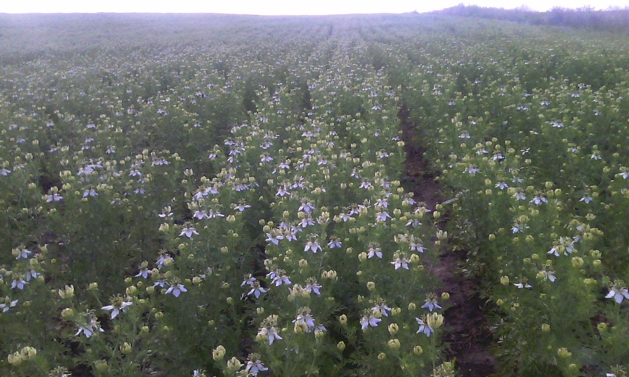 Період цвітіння чорного кмину Nigella Sativa